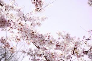 満開の桜の写真素材 [FYI03225000]