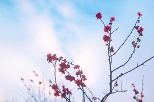 梅の枝先と青空の写真素材 [FYI03225001]