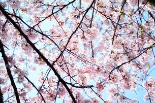 満開の桜と青空の写真素材 [FYI03225004]