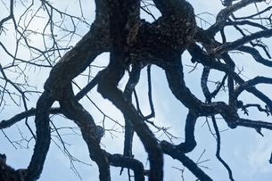 梅の幹と枝と青空の写真素材 [FYI03225006]