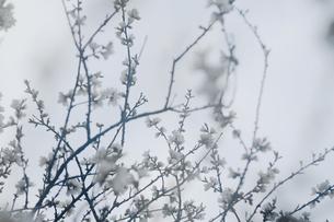 満開の白梅と朝靄の写真素材 [FYI03225010]