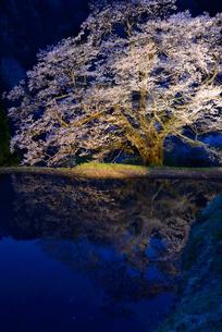 駒つなぎの桜 2018 ライトアップの写真素材 [FYI03225095]
