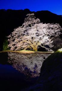 駒つなぎの桜 2018 ライトアップ 全景の写真素材 [FYI03225099]