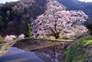 駒つなぎの桜、2018の写真素材 [FYI03225107]