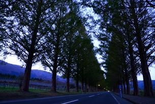 メタコセイア並木の夕暮れの写真素材 [FYI03225279]