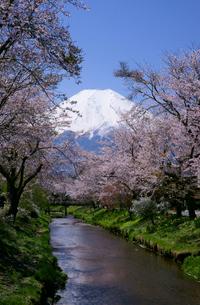 富士山と桜並木と小川の写真素材 [FYI03225389]