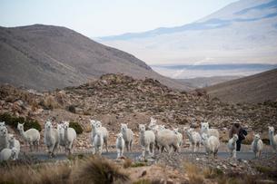 アンデス高原のアルパカの群れと牧童の写真素材 [FYI03225572]