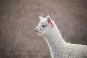 アンデス高原のアルパカの写真素材 [FYI03225575]