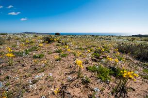 アタカマ砂漠の花園に咲くアニャニュカの群落の写真素材 [FYI03225581]