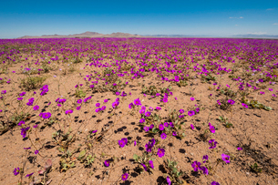 アタカマ砂漠の花園・デシエルトフロリドの写真素材 [FYI03225584]