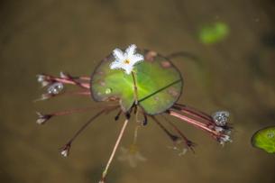 レンソイス砂漠の湖に咲くスイレンの花の写真素材 [FYI03225604]