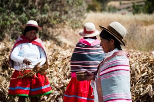 ペルー・ウルバンバの先住民ケチュア族のトウモロコシ収穫風景の写真素材 [FYI03225627]