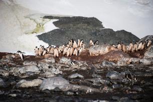 ジェンツーペンギンの幼鳥の群れの写真素材 [FYI03225761]