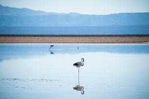 アタカマ塩湖のフラミンゴの写真素材 [FYI03225842]