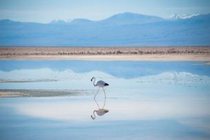 アタカマ塩湖のフラミンゴの写真素材 [FYI03225846]