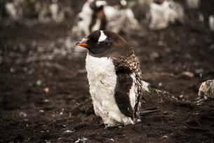 南極のジェンツーペンギンの雛鳥の写真素材 [FYI03225849]