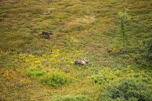 野生のトナカイ:アラスカのカリブーの写真素材 [FYI03225911]
