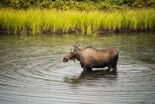 水草を食むムース(ヘラジカ)の写真素材 [FYI03225913]