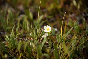 アラスカの花:アネモネの写真素材 [FYI03225920]