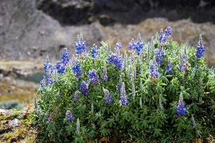 アンデス山脈の花:ルピナスの写真素材 [FYI03225927]