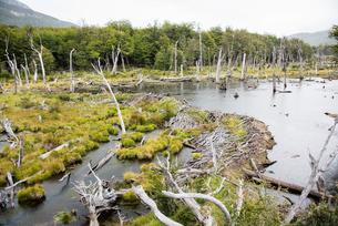 パタゴニアのビーバーのダム(巣)の写真素材 [FYI03225934]