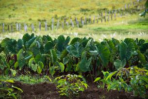 イースター島のタロイモ畑の写真素材 [FYI03225996]