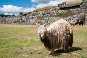 サクサイワマン遺跡とラクダ科のリャマの写真素材 [FYI03226059]