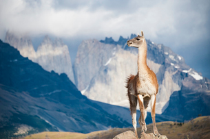 グアナコとパタゴニアの岩峰群の写真素材 [FYI03226092]