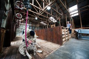 羊の毛刈りの写真素材 [FYI03226097]