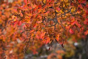 パタゴニアの南極ブナの紅葉 レンガ(落葉樹)の写真素材 [FYI03226166]
