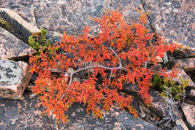 パタゴニアの南極ブナ レンガ(落葉樹)の紅葉の写真素材 [FYI03226178]