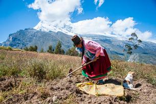 ジャガイモ畑で収穫するケチュア族の老婆の写真素材 [FYI03226232]