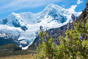 アンデス山脈とルピナスの花の写真素材 [FYI03226260]