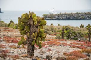 ガラパゴス諸島のウチワサボテンの写真素材 [FYI03226277]