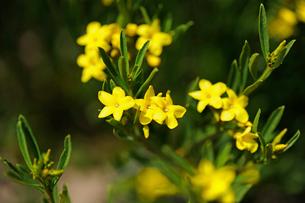 アタカマ砂漠の花畑とクエルノ・デ・カブラの花の写真素材 [FYI03226352]