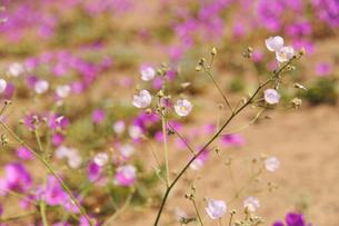 アタカマ砂漠のマルビージャの花の写真素材 [FYI03226361]