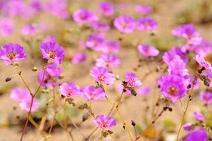 アタカマ砂漠の花畑とパタ・デ・グアナコの花の写真素材 [FYI03226369]