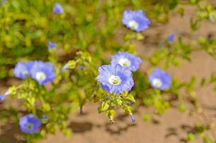 アタカマ砂漠の花 ススピロの写真素材 [FYI03226373]