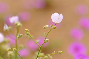 アタカマ砂漠の花 マルビージャの写真素材 [FYI03226401]