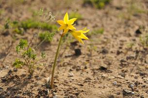 アタカマ砂漠の花 アニャニュカの写真素材 [FYI03226411]