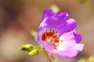 アタカマ砂漠の花 パタ・デ・グアナコの写真素材 [FYI03226439]