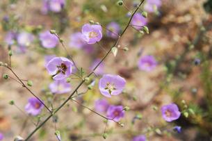 アタカマ砂漠の花 マルビージャの写真素材 [FYI03226446]