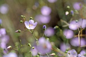 アタカマ砂漠の花 マルビージャの写真素材 [FYI03226447]