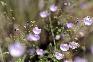 アタカマ砂漠の花 マルビージャの写真素材 [FYI03226449]