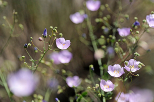 アタカマ砂漠の花 マルビージャの写真素材 [FYI03226450]