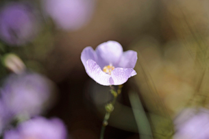 アタカマ砂漠の花 マルビージャの写真素材 [FYI03226452]