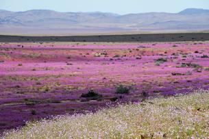 アタカマ砂漠の花畑 パタ・デ・グアナコとマルビージャの群落の写真素材 [FYI03226455]