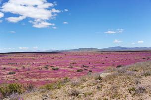 アタカマ砂漠の花畑 パタ・デ・グアナコとマルビージャの群落の写真素材 [FYI03226456]