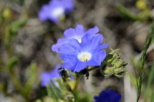 アタカマ砂漠の花 ススピロの写真素材 [FYI03226470]