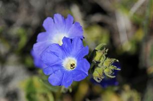 アタカマ砂漠の花 ススピロの写真素材 [FYI03226471]